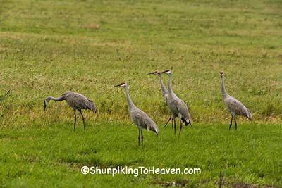 Sandhill Cranes in Autumn, Wood County, Wisconsin