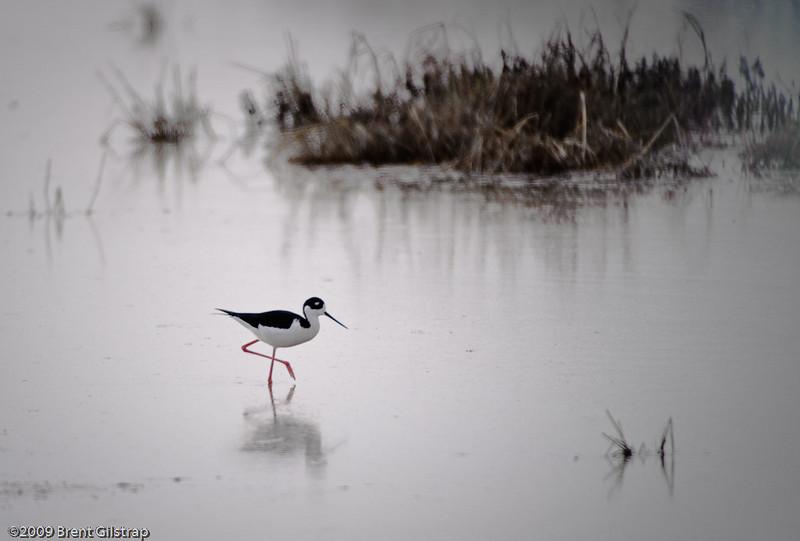 Black-necked Stilt<br /> <br /> Merced National Wildlife Refuge<br /> 04 February 2009