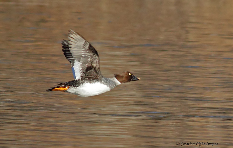 Goldeneye In Flight