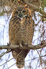Great Horned owl at dusk