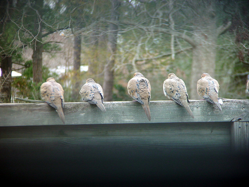 Doves on a fence.