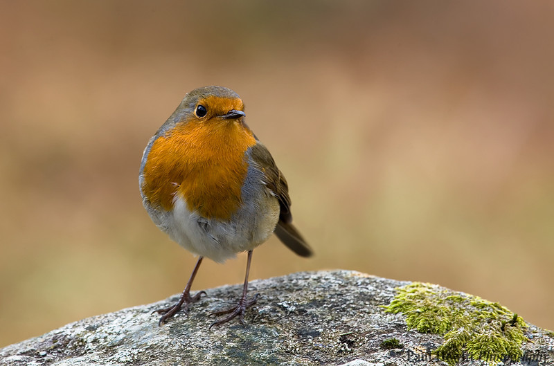 Lake District Robin