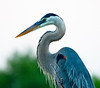 Great Blue Heron at Green Cay Wetlands, Palm Beach County, April, 2011