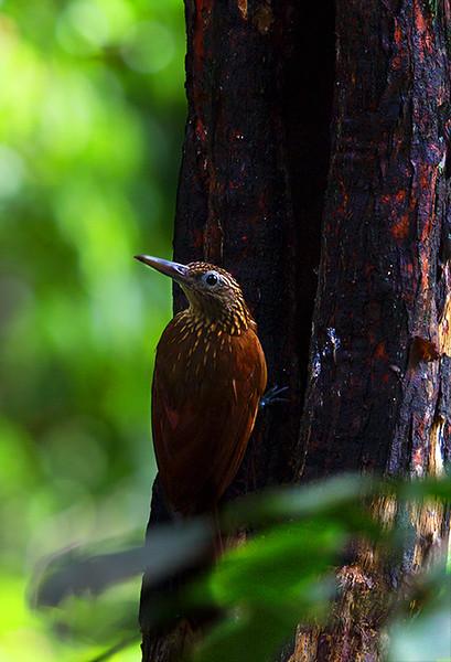 Long billed woodcreeper (<i>Nasica longirostris</i>) Mamiraua Reserve, Amazon, Brazil
