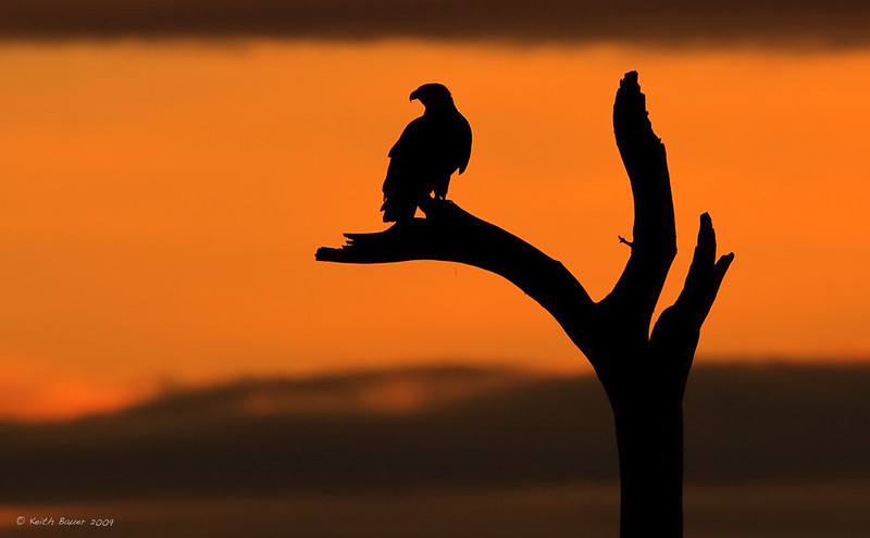 Bald Eagle Sunrise Silhouette