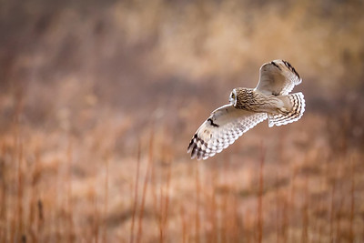 SE Owl in flight  7625-