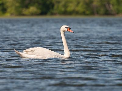 Swan at Nashua River (MA) on 20100702
