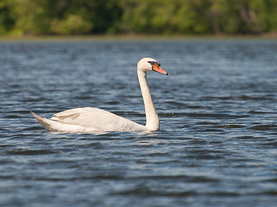 Swan at Nashua River (MA) on 20100702