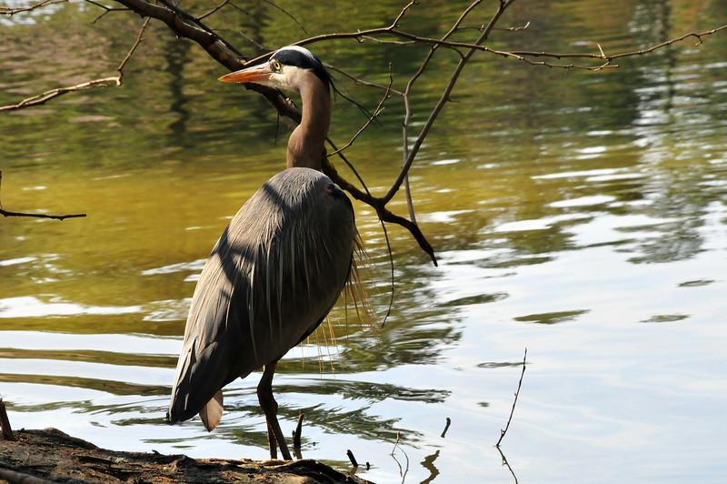 Great Blue Heron - Duke Gardens - 3/21/08