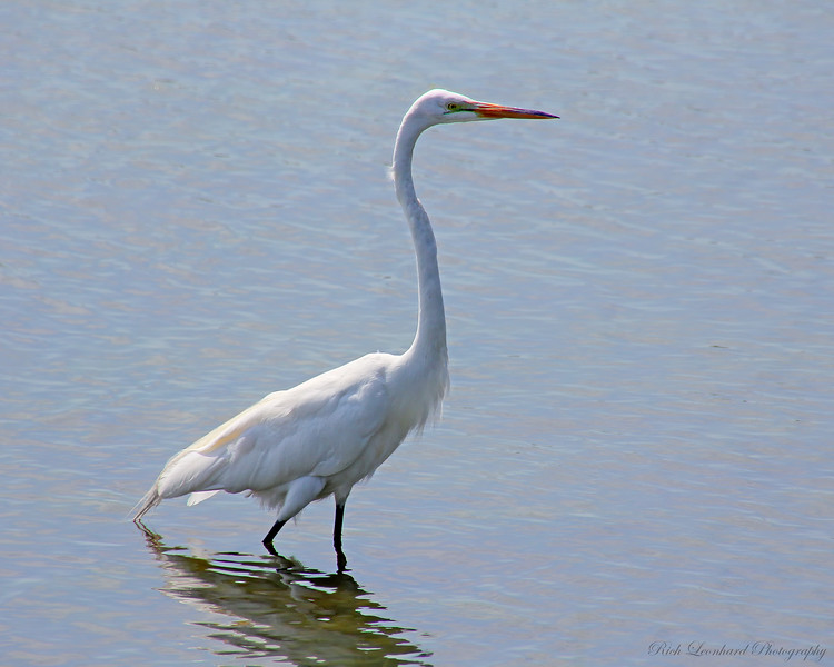 Great Egret at The Oceanside Marine Study Area.