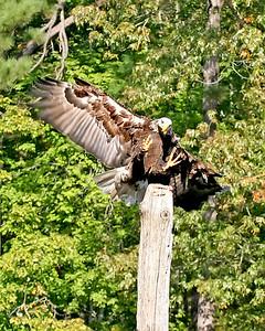 Bald Eagle at Callaway Gardens.
