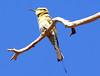 Rainbow Bea-eater (Merops ornatus), Immature