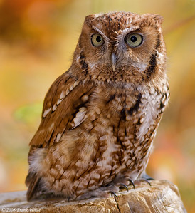 Screech owl, captive