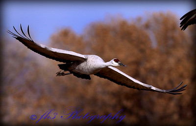 Sandhill Crane, Bosque del Apache National Wildlife Refuge