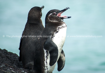 Galapagos Penguins, open beak.