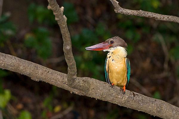"Stork-Billed Kingfisher "" Maysore"" India"