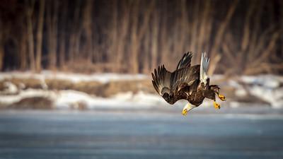 eagle divinj in the Mississippi River at Lock 18-9540