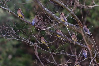 Cedar Waxwings in a tree