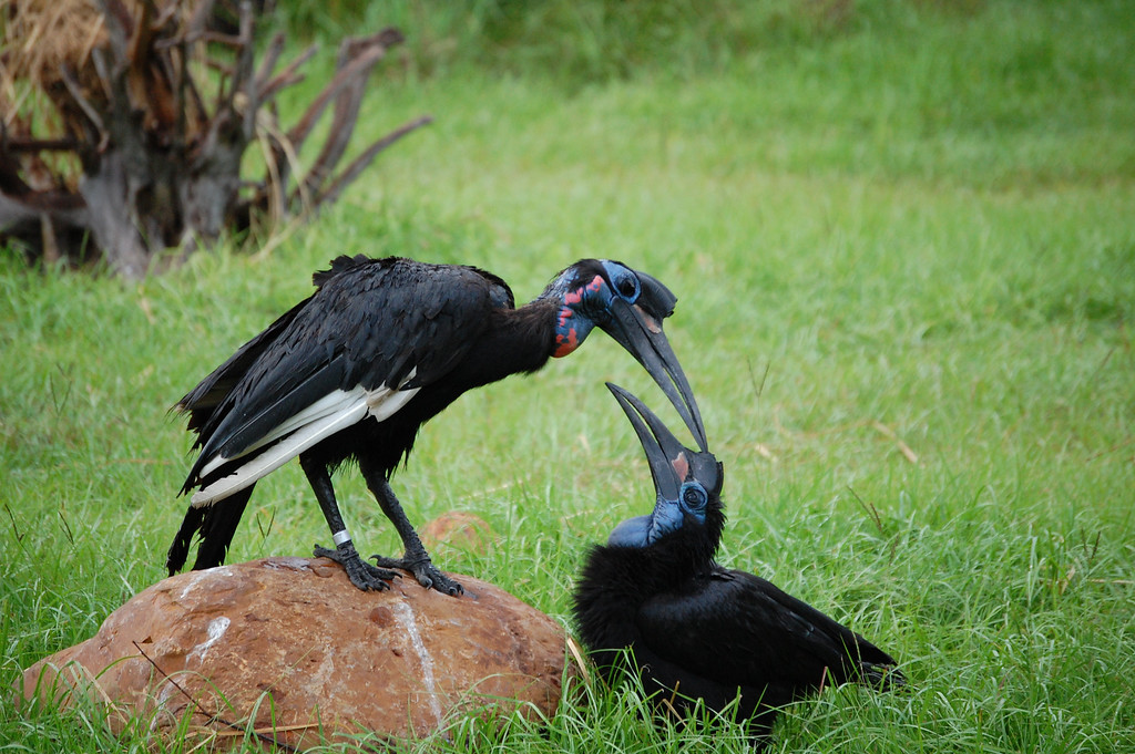 A couple of Obsidian Ground Hornbills practicing grooming. Hard to tell in the picture, but when they stand up, they're big birds. <br /> The deep blue and red on their head/throat stands out against their black plumage.