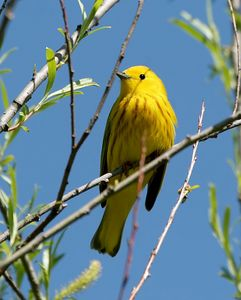 Yellow Warbler - Michigan by Paw Prints Nature & Wildlife Photography
