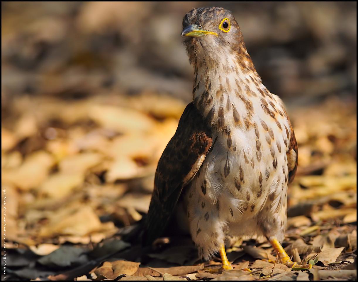 Common hawk cuckoo.....too close for comfort..!
