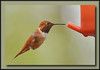 Slurp!  Male Rufous Hummingbird at Richmond Nature Park.  Sony A700 + Sigma 50-500 (Bigma).