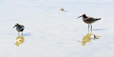 Dunlin and curlew sandpiper  Aguadulce, Almeria