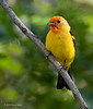 Male Western Tanager