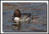 "Common Goldeneye female @ Burnaby Lake (w/ Sigma 50-500 ""Bigma"")"