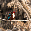 white-throated kingfisher. successful catch,,, Canon EOS 1D Mark iv + Canon EOS 70-200 mm f/2.8L IS lens. Pakistan