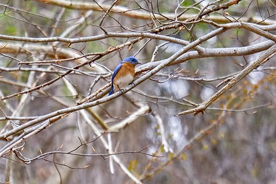 Eastern bluebird, male - Sialia sialis.