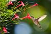 Ruby-throated Hummingbird - Archilochus colubris - Pennsylvania