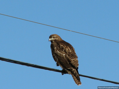 January - Red Tail Hawk in Carson Valley, NV
