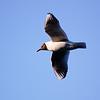 In Flight Gull