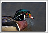 Male Wood Duck  (w/ Bigma)
