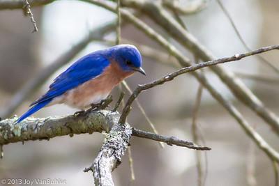 111/365 - Eastern Bluebird