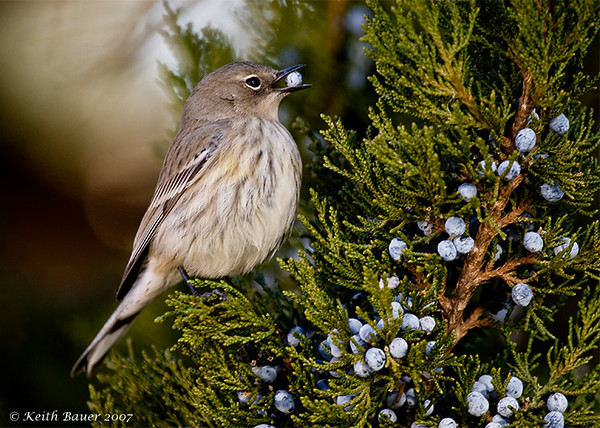 Yellow Rumped Warbler Eating Berries