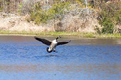 Canada Goose landing