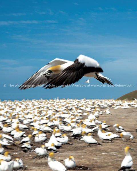 Gannet flying over nesting colony