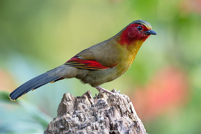 Red-faced Liocichla. Baihualing China. 2018