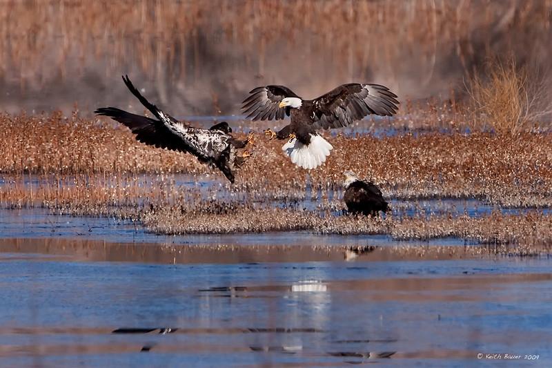 Bald Eagles - Squabble over some food