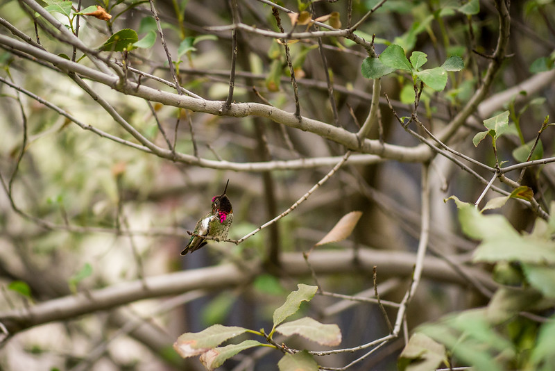 Anna's Hummingbird, Arizona-Sonora Desert Museum, Tucson - December 2017