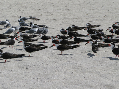 Skimmers, Florida