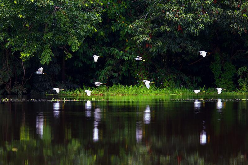 Snowy Egrets (<i>Egretta thula</i>) Mamirauá Reserve, Amazon, Brazil