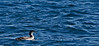 Loons take to the sea when inland waters freeze.