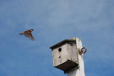 A male house sparrow returning to the bird house holding his nest.