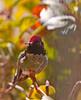 Anna's Humingbird 1