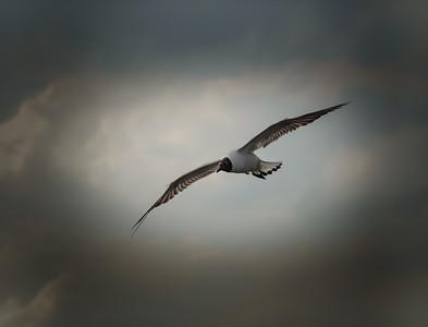 A Black Headed Gull