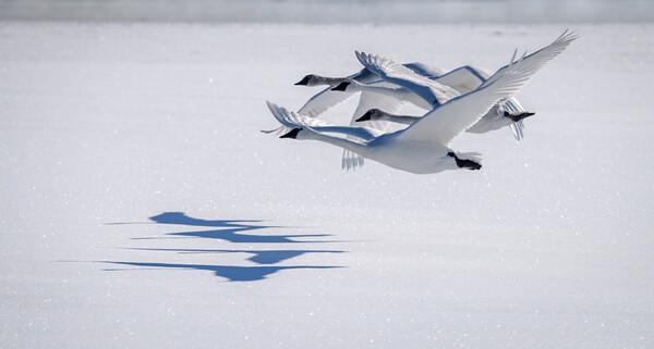 Trumpeter Swans | Bozeman, MT