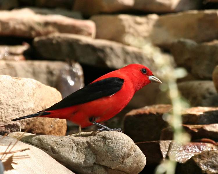 Scarlet Tanager (Breeding plumage)